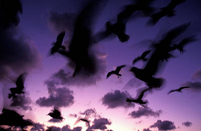 silhouettes of airborne seagulls at Twilight,  1996 Poster