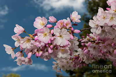 Silicon Valley Cherry Blossoms Poster