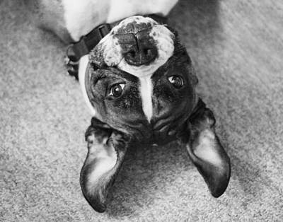 Silly Upside Down Boxer Dog Poster by Stephanie McDowell