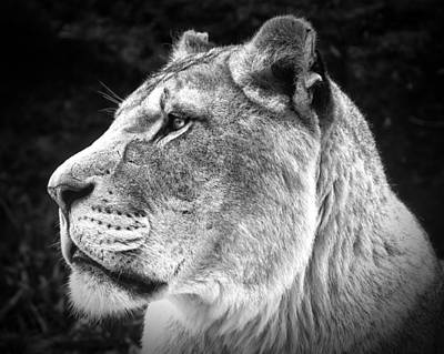Poster featuring the photograph Silver Lioness  by Chris Boulton