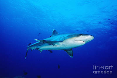 Silvertip Shark In Thailand Poster by Dave Fleetham - Printscapes