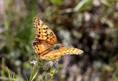 Silvery Checkerspot Butterfly On Wildflower 2 Poster by Sheila Brown