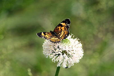 Silvery Checkerspot Butterfly On Wildflower Poster