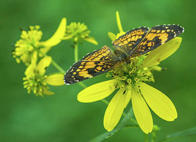 Silvery Checkerspot Poster by Jody Partin