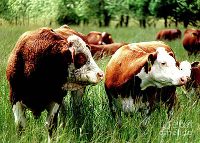Simmental Bull And Hereford Cow Poster