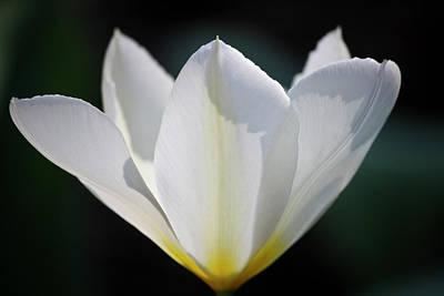 Simple White Tulip Poster by Teresa Mucha