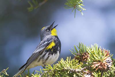 Singing Audubon's Warbler Poster