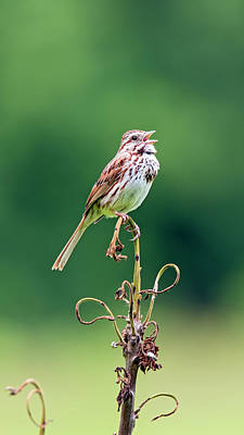 Singing Song Sparrow Poster by Jennifer Nelson