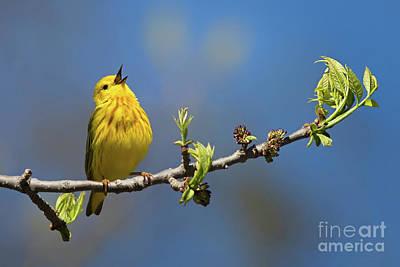 Singing Yellow Warbler Poster