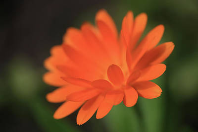 Single Orange Daisy Flower Poster
