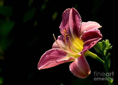 Single Pink Day Lily Poster by Kenny Glotfelty