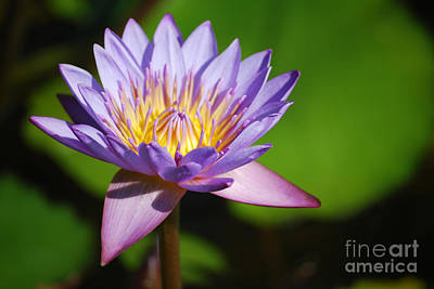 Single Purple Water Lily Number One Poster by Heather Kirk