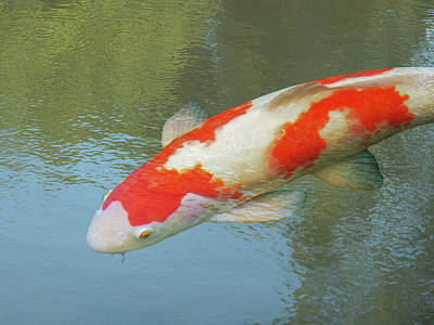 Single Red And White Koi Poster by Gill Billington