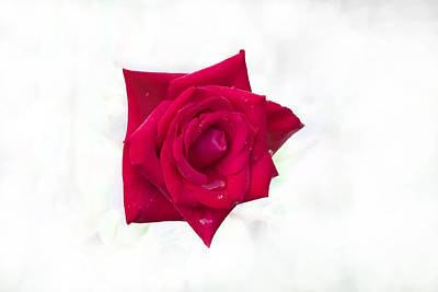 Single Red Rose Poster by Judy Hall-Folde