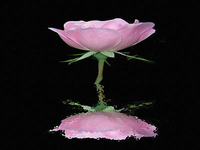 Single Reflected Pink Rose Poster by Dennis Buckman