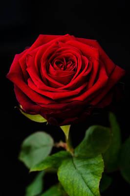 Single Rose Poster