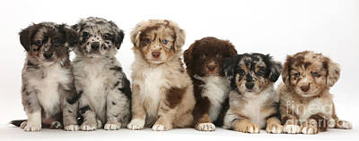 Six Miniature American Shepherd Puppies Poster by Mark Taylor