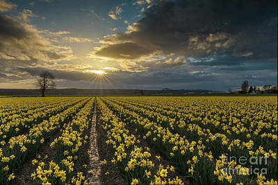 Poster featuring the photograph Skagit Daffodils Golden Sunstar Evening by Mike Reid
