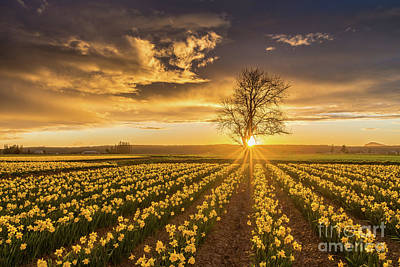 Poster featuring the photograph Skagit Valley Daffodils Sunset by Mike Reid