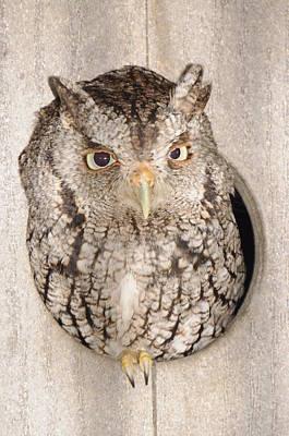 Skreech Owl Poster