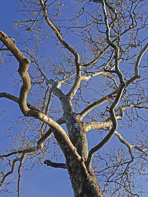 Skeletal London Plane Tree In The Winter Light Poster by Brian Shaw