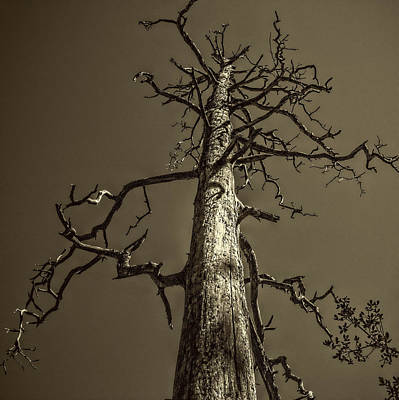 Skeletal Tree Sedona Arizona Poster