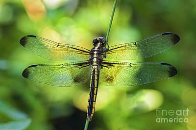Skimmer Dragonfly Poster