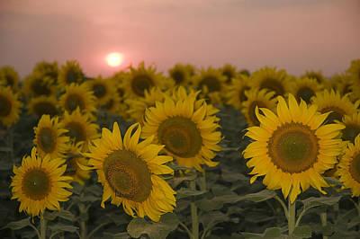 Skn 2178 The Sunflowers At Sunset  Poster by Sunil Kapadia