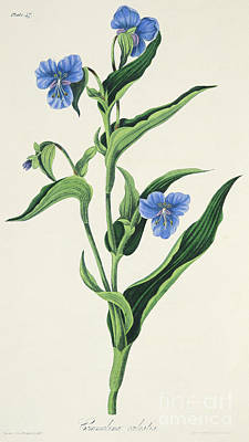 Sky Blue Commelina Poster by Margaret Roscoe