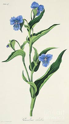 Sky Blue Commelina Poster