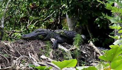 Poster featuring the photograph Sleeping Alligator by Barbara Bowen