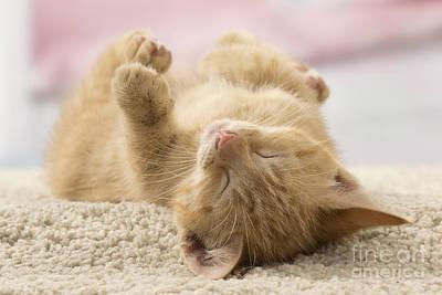 Sleeping Kitten Poster by Jean-Michel Labat