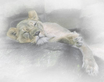 Sleeping Lion Poster by David and Carol Kelly