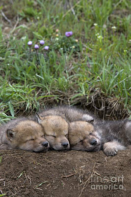 Sleeping Wolf Cubs Poster by Jean-Louis Klein & Marie-Luce Hubert