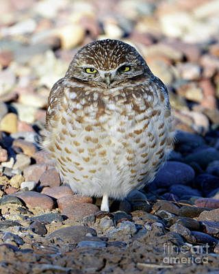 Sleepy Burrowing Owl Poster