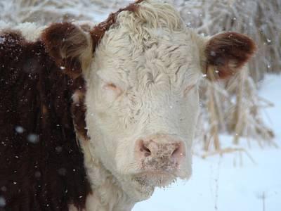 Sleepy Winter Cow Poster