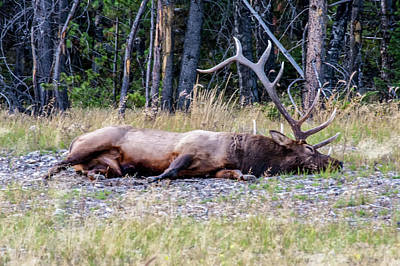 Poster featuring the photograph Sleepy Elk 2009 03 by Jim Dollar