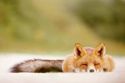Sleepy Fox Is Sleepy Poster by Roeselien Raimond