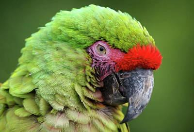 Sleepy Green Macaw Poster