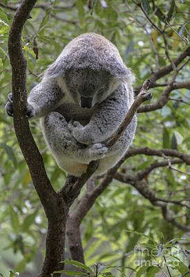 Sleepy Koala Poster by Avalon Fine Art Photography