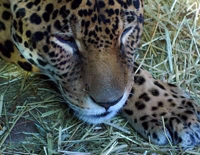 Sleepy Leopard Poster by Lori Seaman