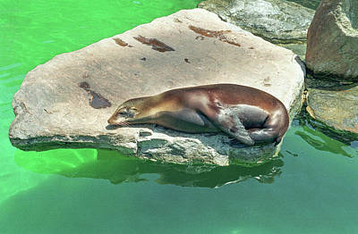 Sleepy Sea Lion Poster