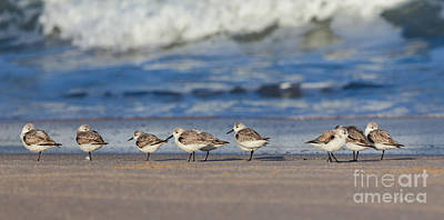 Poster featuring the photograph Sleepy Shorebirds by Michelle Wiarda