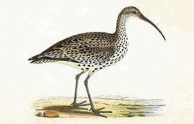 Slender Billed Curlew Poster by English School