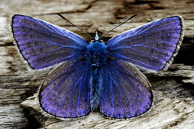Small Blue Butterfly On A Piece Of Wood In Ireland Poster by Pierre Leclerc Photography