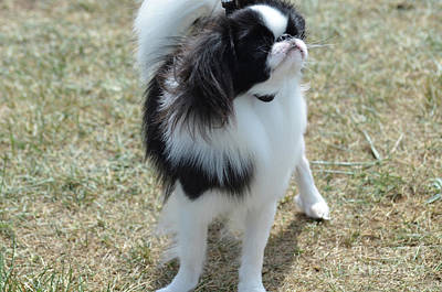 Small Japanese Chin Dog Looking Up  Poster by DejaVu Designs