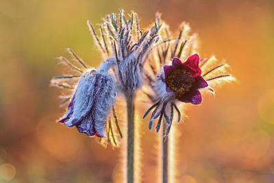 Poster featuring the photograph Small Pasque Flower, Pulsatilla Pratensis Nigricans by Davor Zerjav