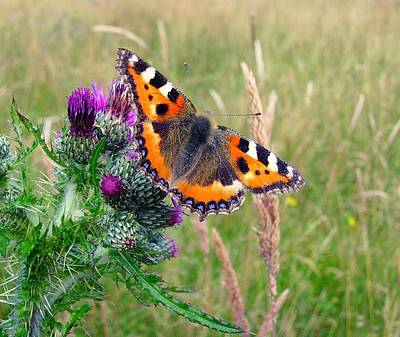 Small Tortoiseshell Butterfly Poster by Photo by Suzanne Rowcliffe (suzanne.rowcliffe@gmail.com)