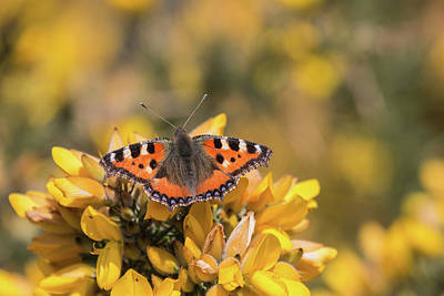 Small Tortoiseshell On Gorse Poster