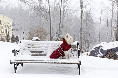 Small White Dog In Snow Storm On Bench Poster